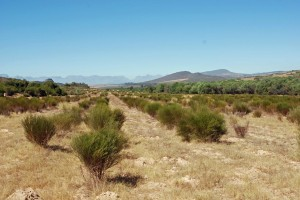 Rooibos growing near Clanwilliam